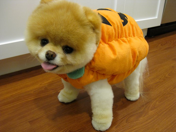 Boo The Cutest Puppy In The World In A Halloween Costume