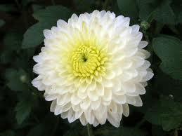 Roxanne day 1011121314151617181920 huskyheadlines day 13 mum this is a white mum flower another mum is my mum i love you mum mightylinksfo